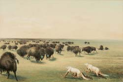 Buffalo Hunt, Under the White Wolf Skin
